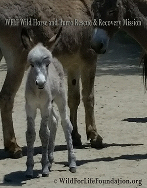 Wild Horse and burro rescue